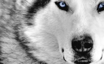 inner wolf